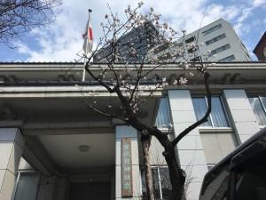 宮城県神社庁前の桜は満開