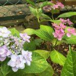 バジル、山椒、金木犀、沈丁花、けっこういい庭でしょ